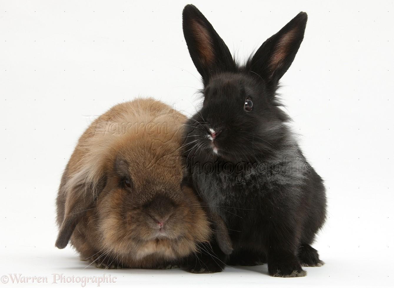 lionhead cross rabbits photo   wp23590
