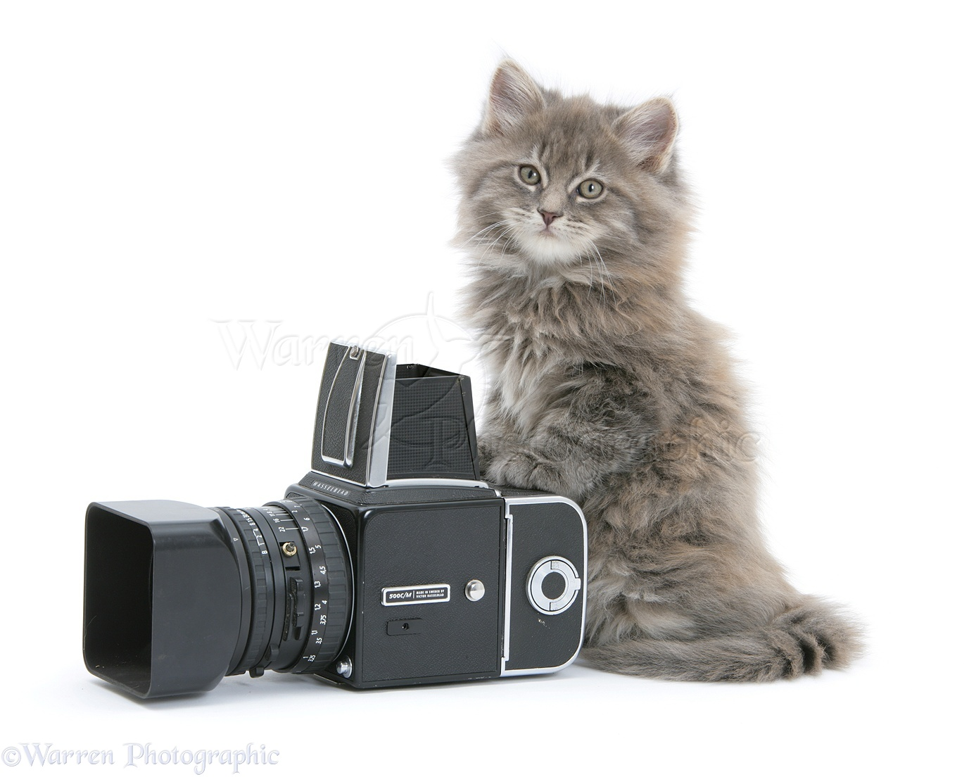 Maine Coon kitten playing with a camera photo WP