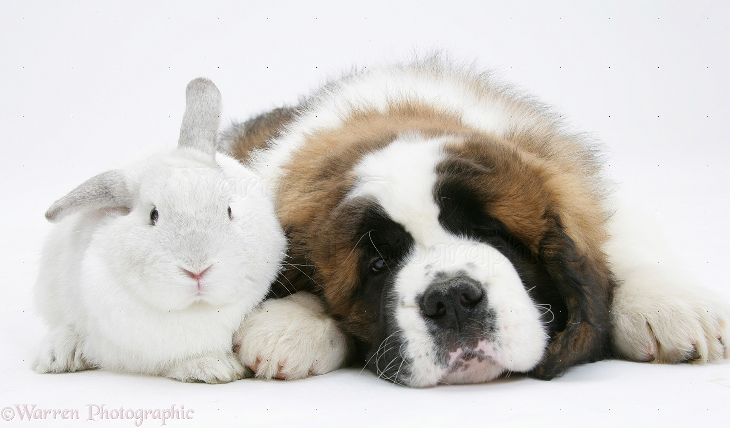 Pets Saint Bernard Puppy And White Rabbit Photo Wp23613