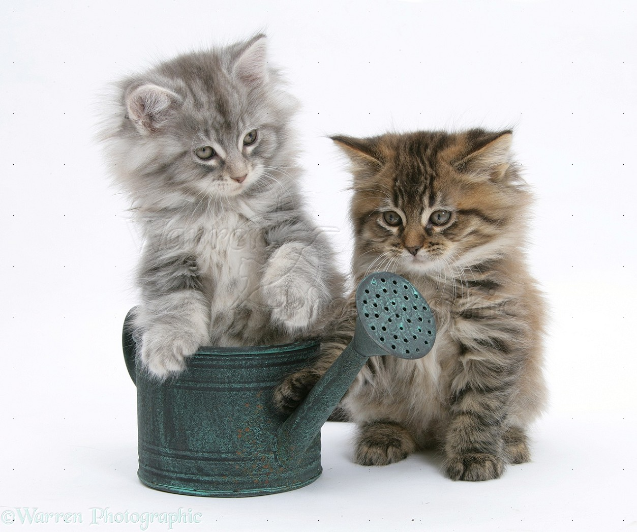 Maine Coon kittens playing with a small watering can photo WP23635