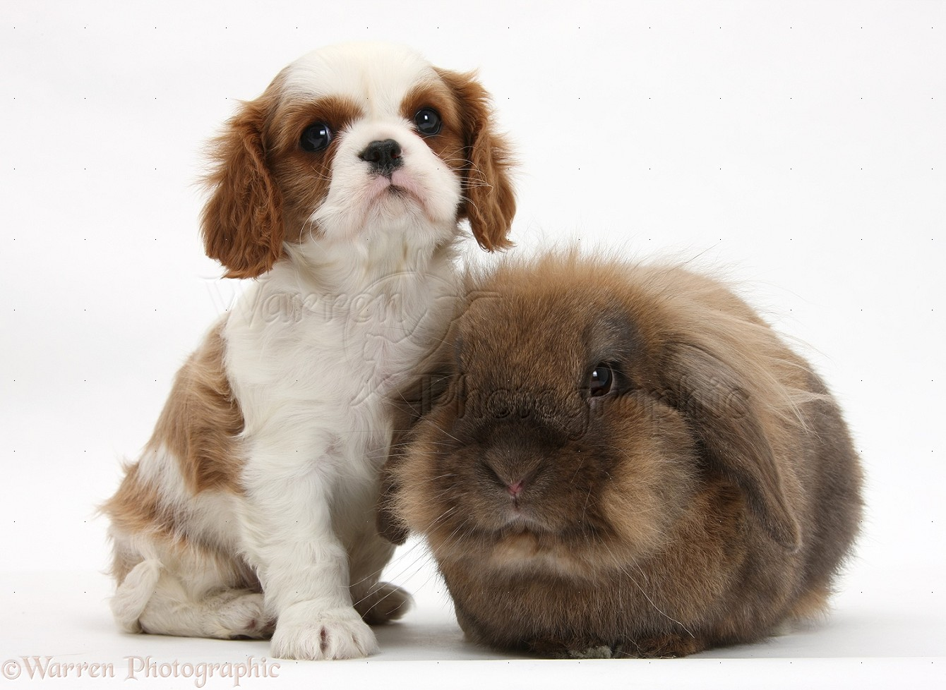 pets cavalier king charles spaniel pup and rabbit photo
