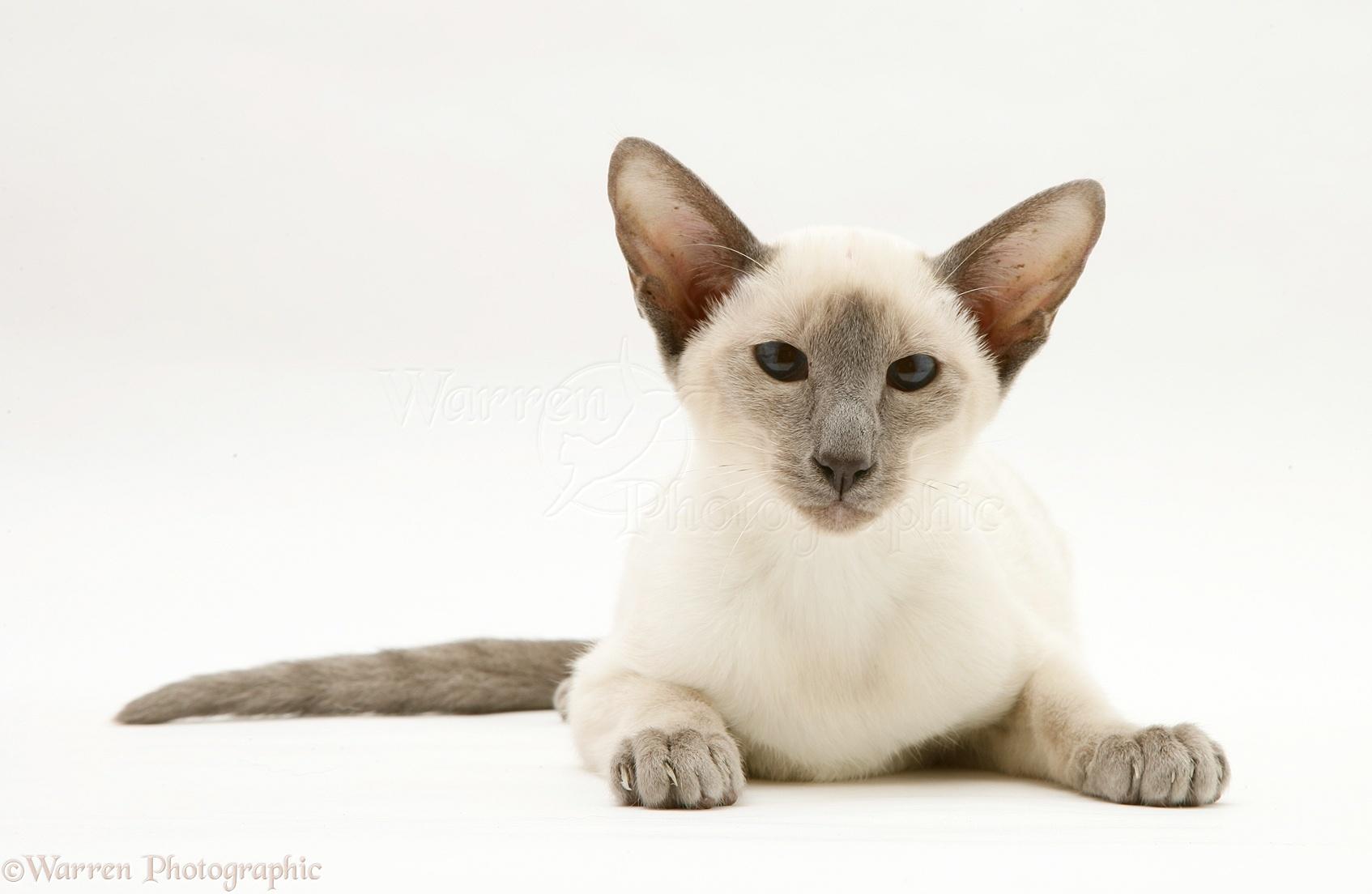 White Balinese Cat
