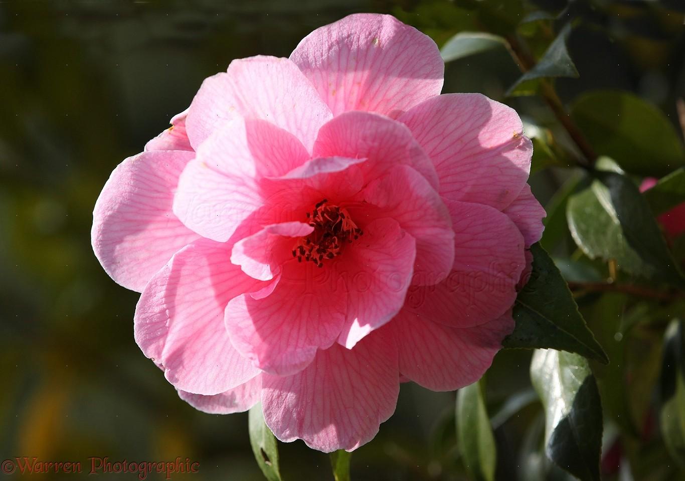 Camellia Flower Photo Wp23708