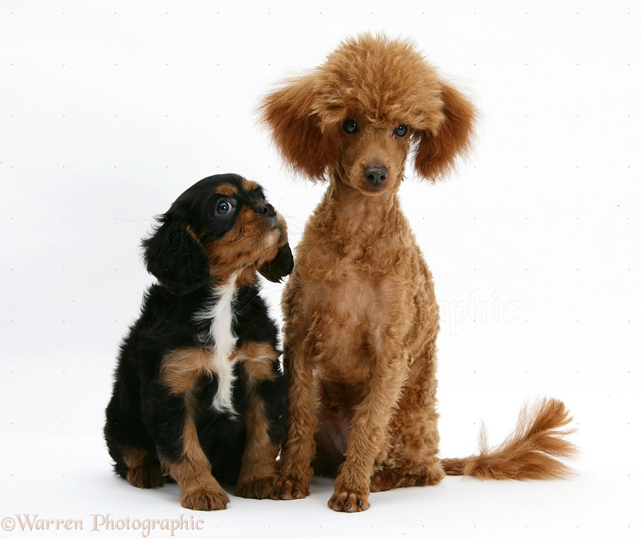 Wp23739 red toy poodle pup reggie with black and tan cavalier king