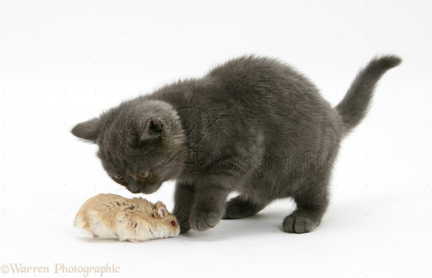 WP23785 Grey kitten meeting Dwarf Siberian Hamster.