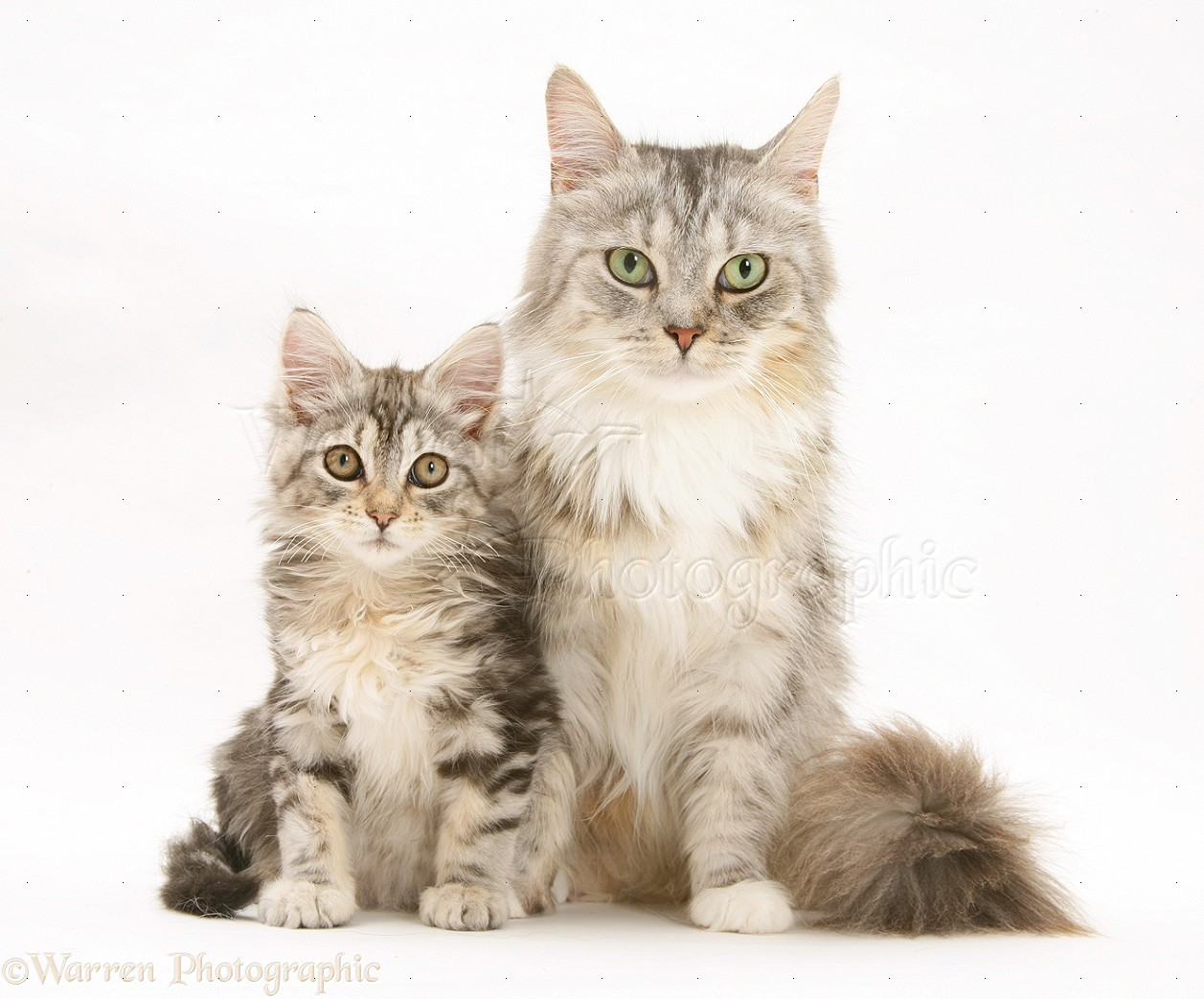 Maine Coon mother cat and kitten photo WP23837 Tabby Maine Coon Kitten