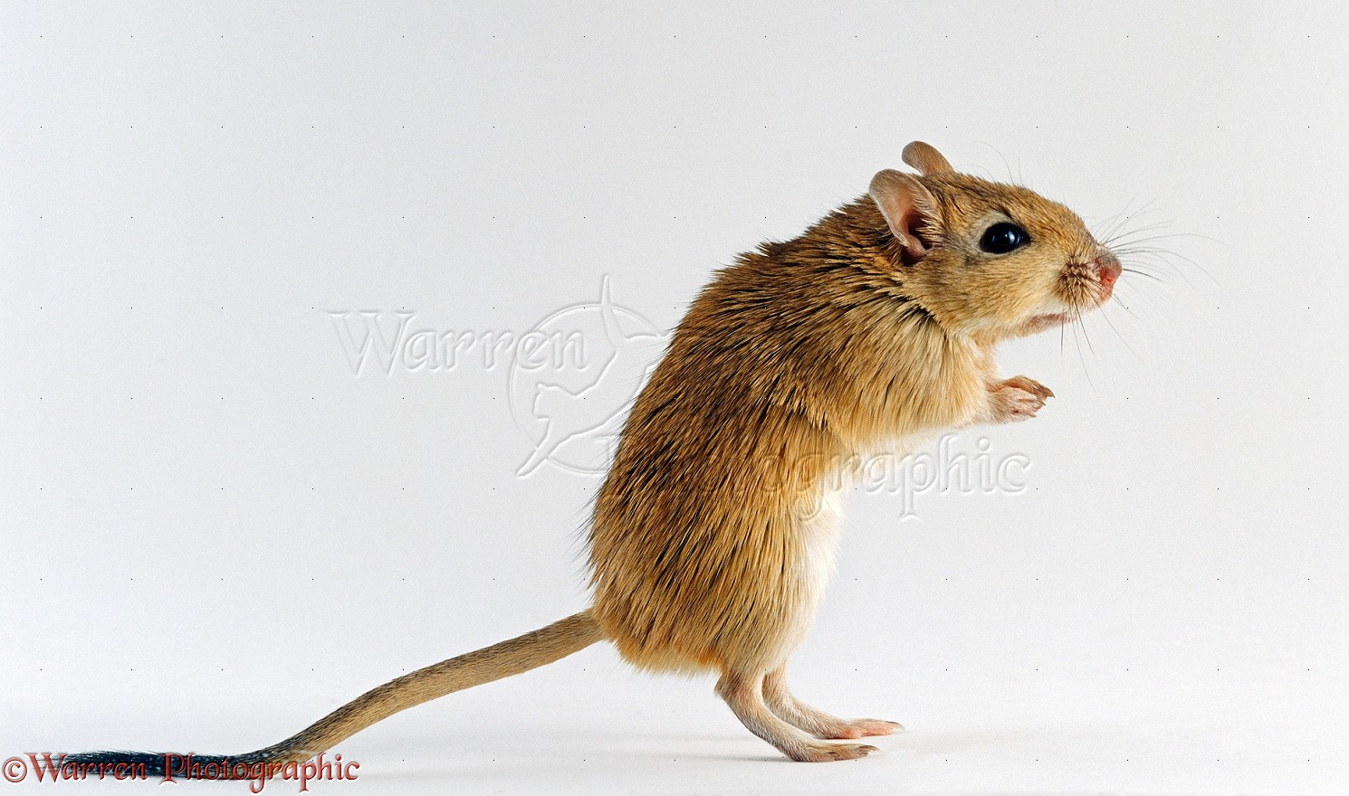 Shaw S Gerbil Standing Photo Wp23984