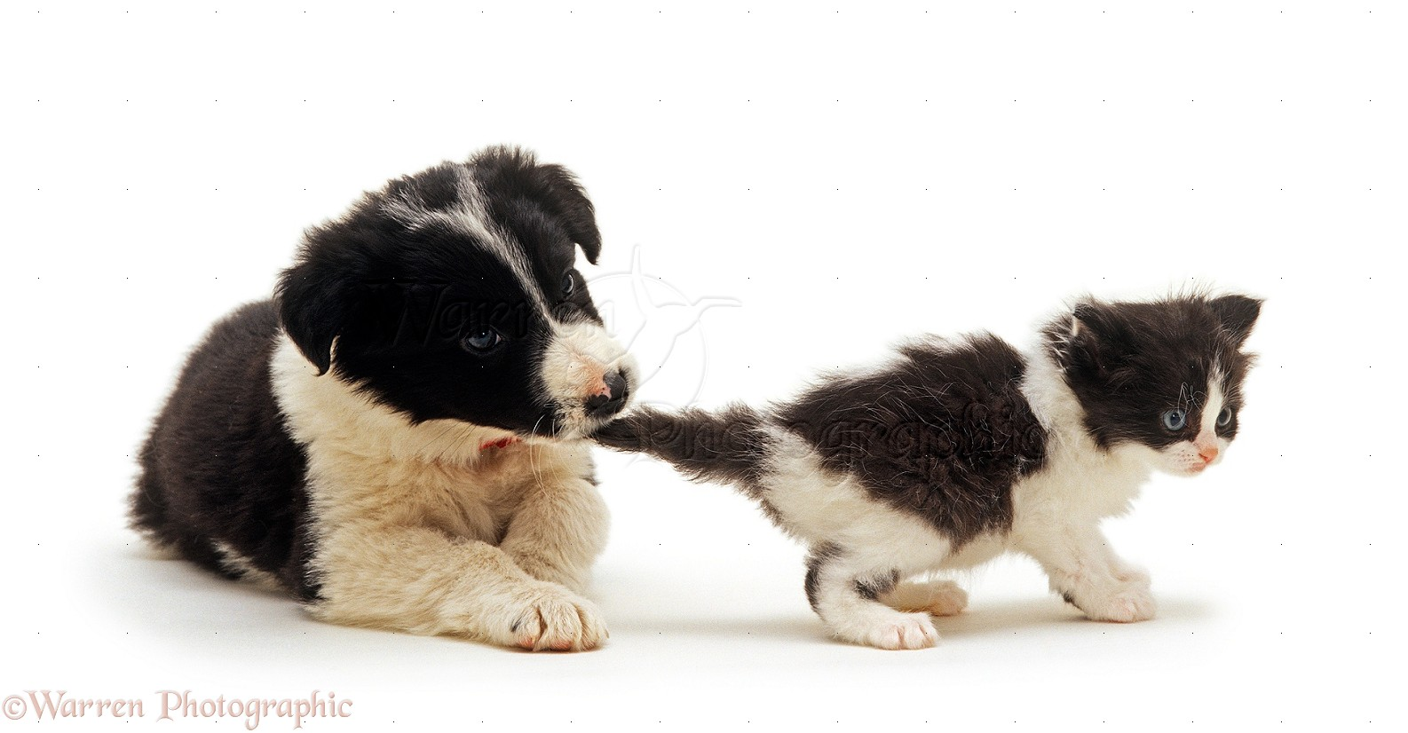 Border collie puppy phoebe pulling black and white kitten s tail
