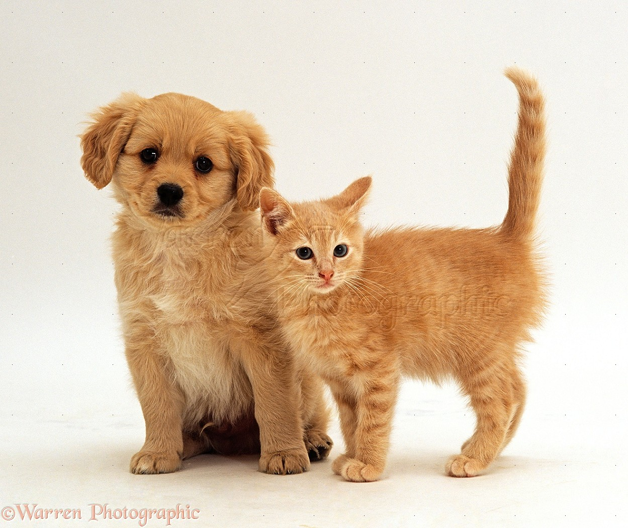 WP24085 Cavalier x Spitz puppy with ginger kitten, both 8 weeks old.