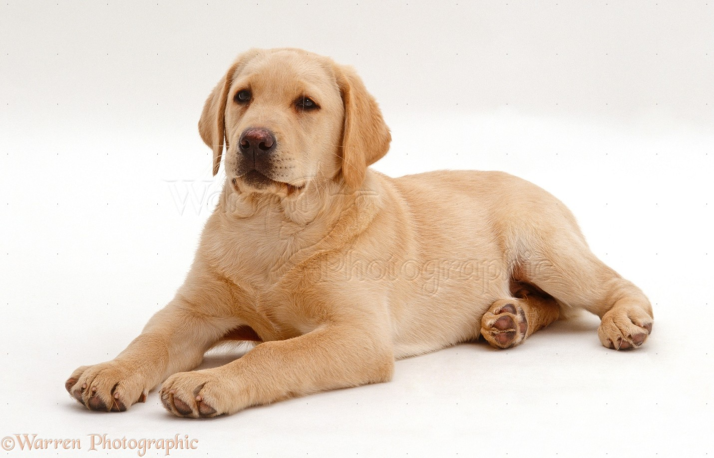 Dog Yellow Labrador Retriever Puppy Photo Wp24148
