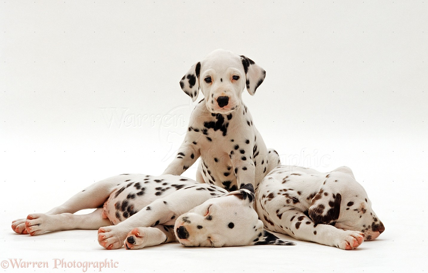 Dogs Three Dalmatian Puppies 6 Weeks Old Sitting And Sleeping