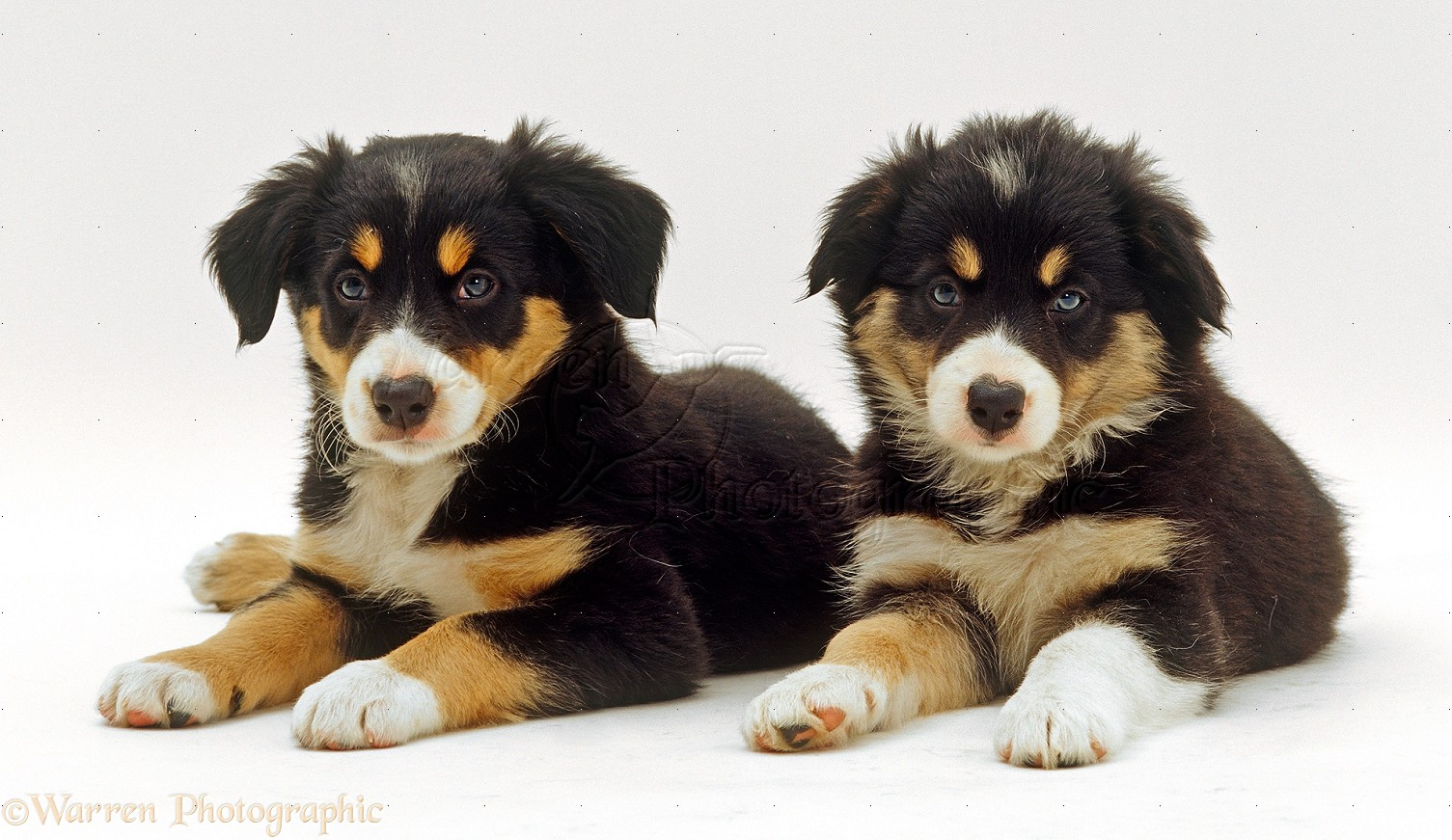 Dogs Two Tricolour Border Collies Puppies Photo Wp24530