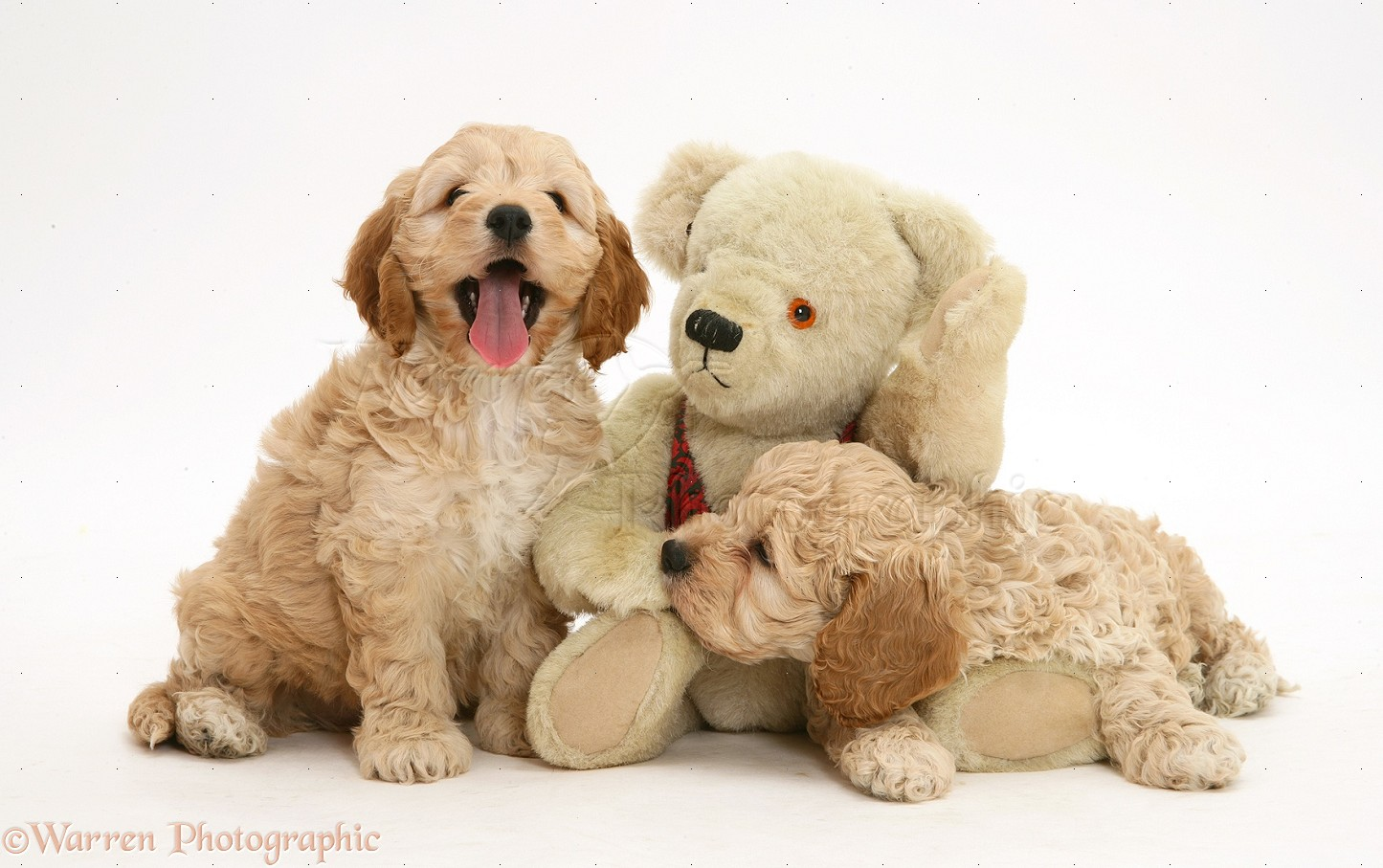 Dogs American Cockapoo Puppies With A Teddy Bear Photo Wp24671