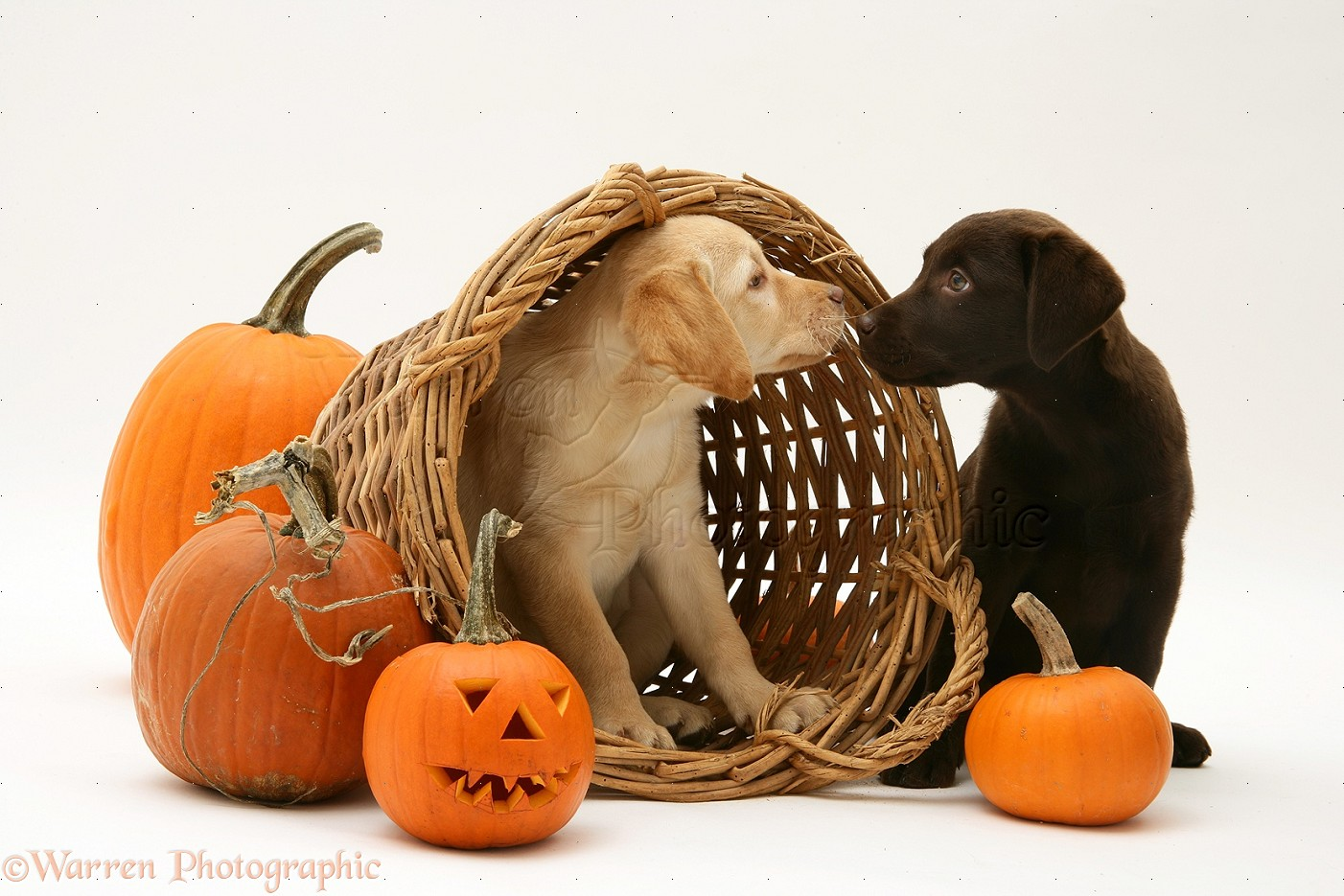 Dogs Yellow And Chocolate Retriever Pups At Halloween Photo Wp24704