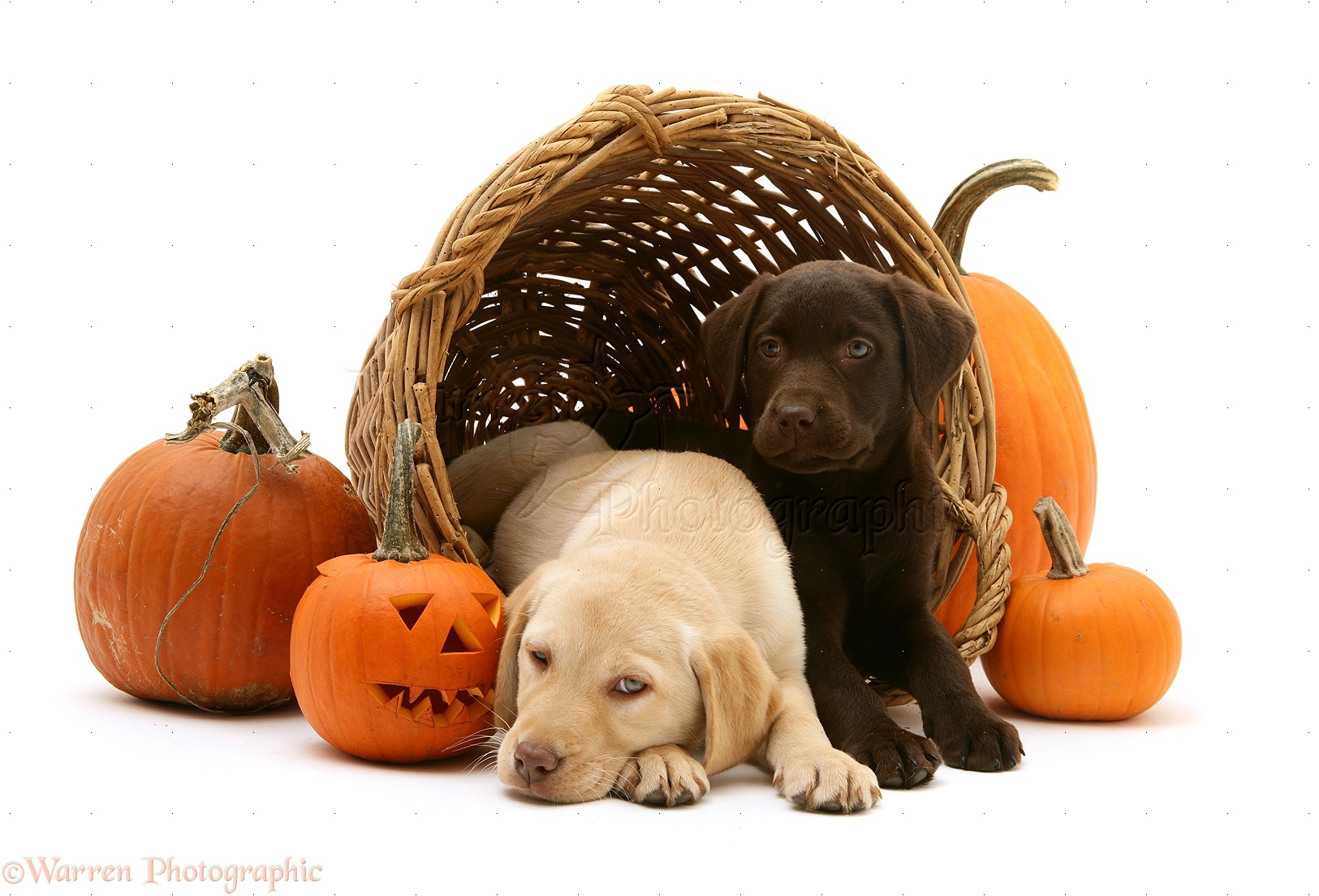 Dogs: Yellow and Chocolate Retriever pups at Halloween photo - WP24705