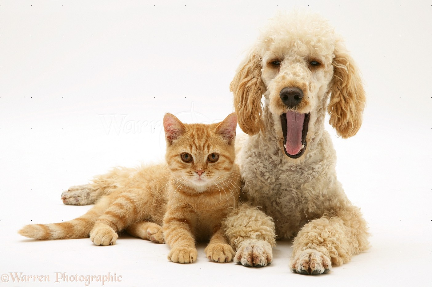 Wp24726 apricot poodle murphy with ginger cat