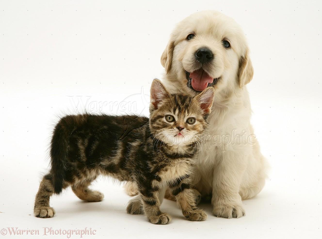 Pets: Tabby Kitten and Golden Retriever puppy photo WP24781