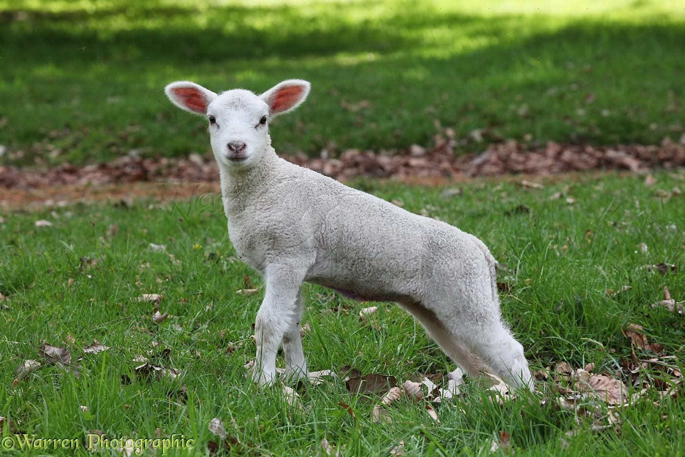 Lamb 1 Week Old Photo Wp24856