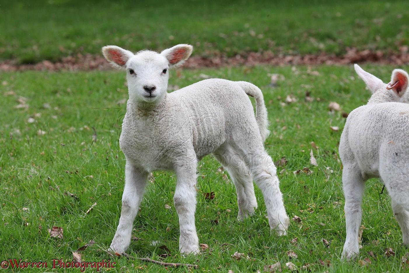 Lamb, 1 week old photo WP24857