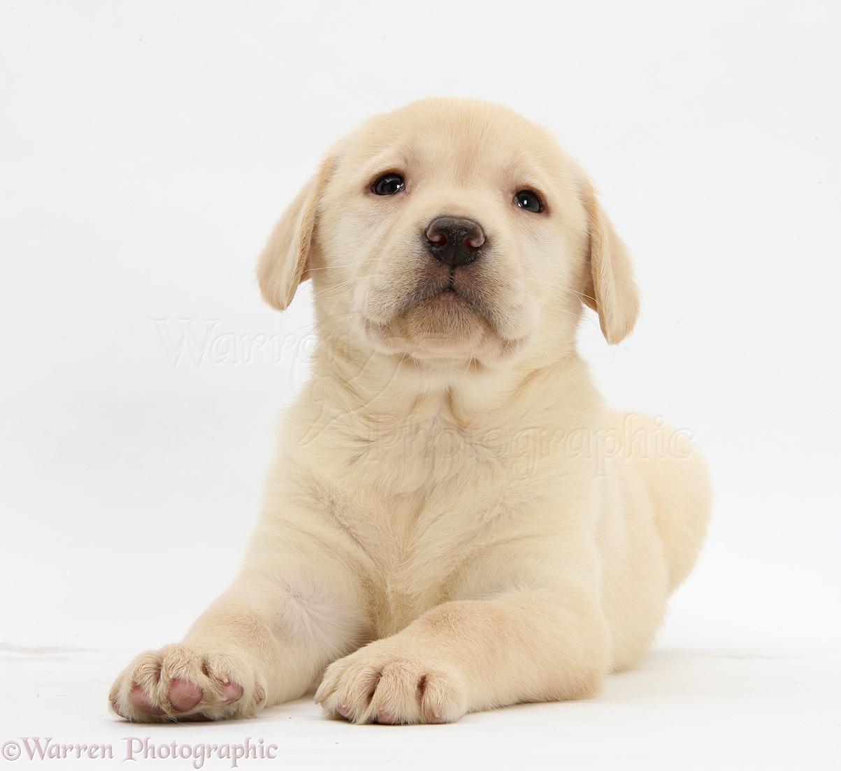 Dog yellow labrador retriever puppy 7 weeks old photo wp24917