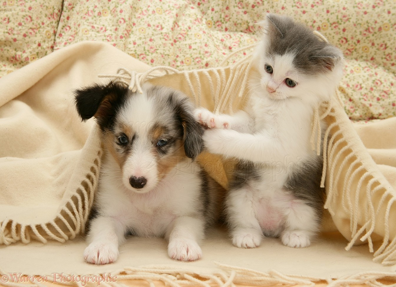 Pets: Playful kitten and Sheltie pup under a blanket photo ...