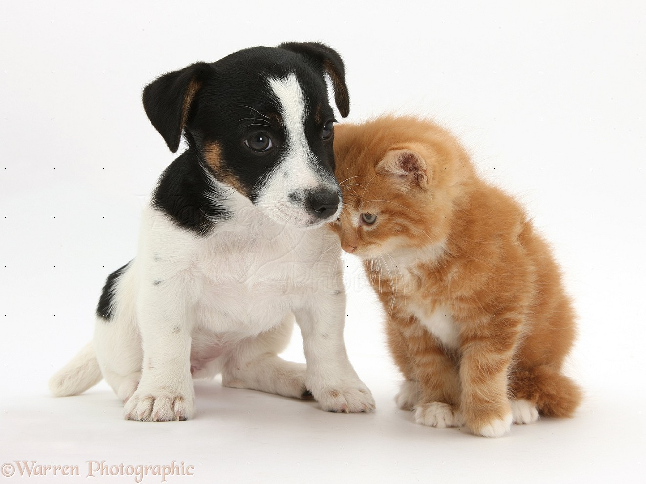 Jack Russell Terriers Puppies Pictures of Cats