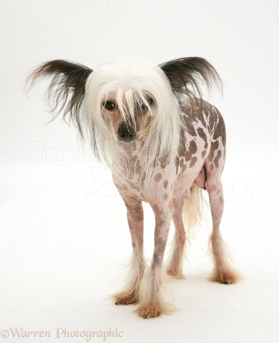 dog naked chinese crested bitch photo   wp25033