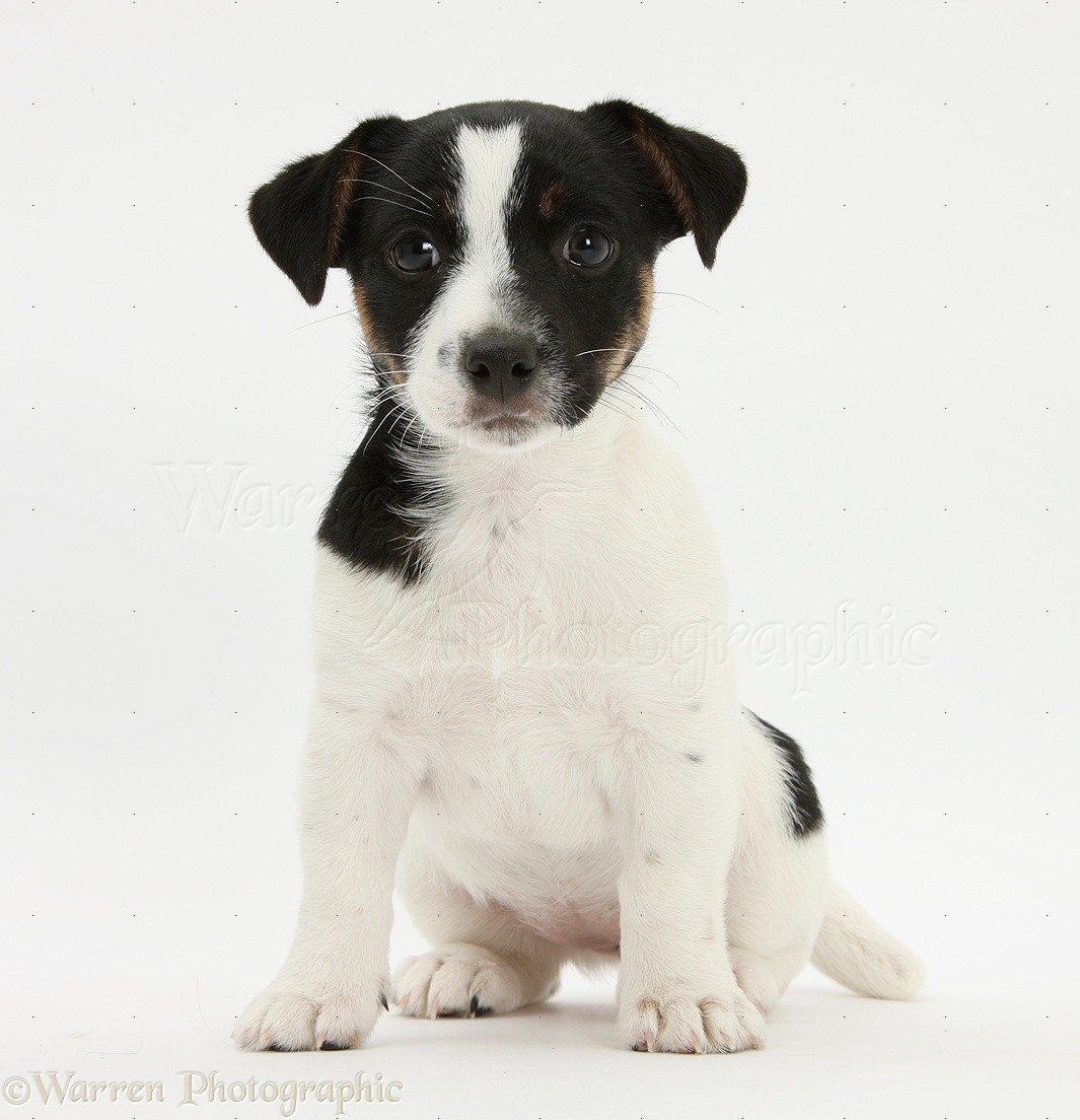 WP25059 Jack Russell Terrier pup, Rubie , 9 weeks old.
