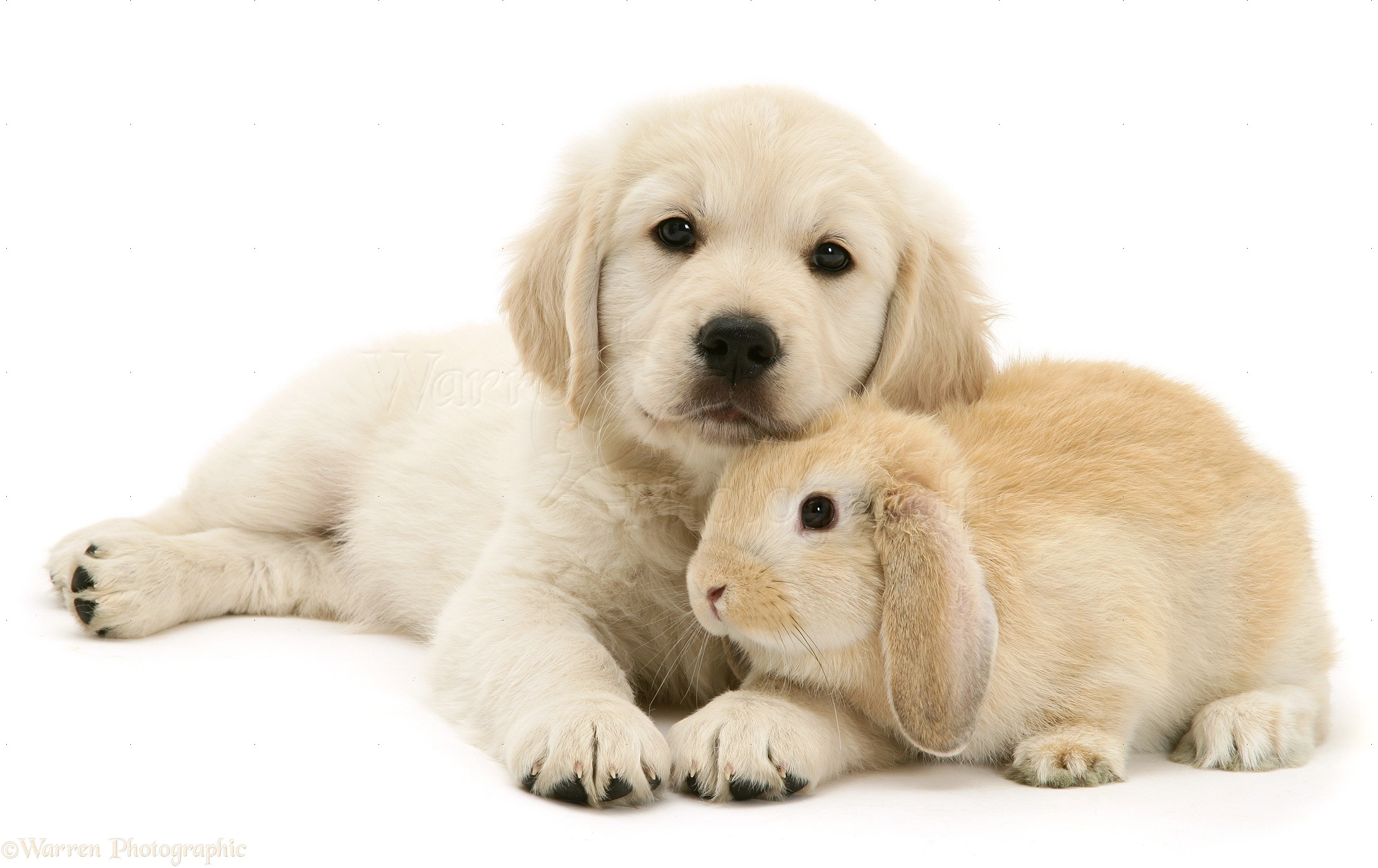 Pets: Golden Retriever pup with young Sandy Lop rabbit ...
