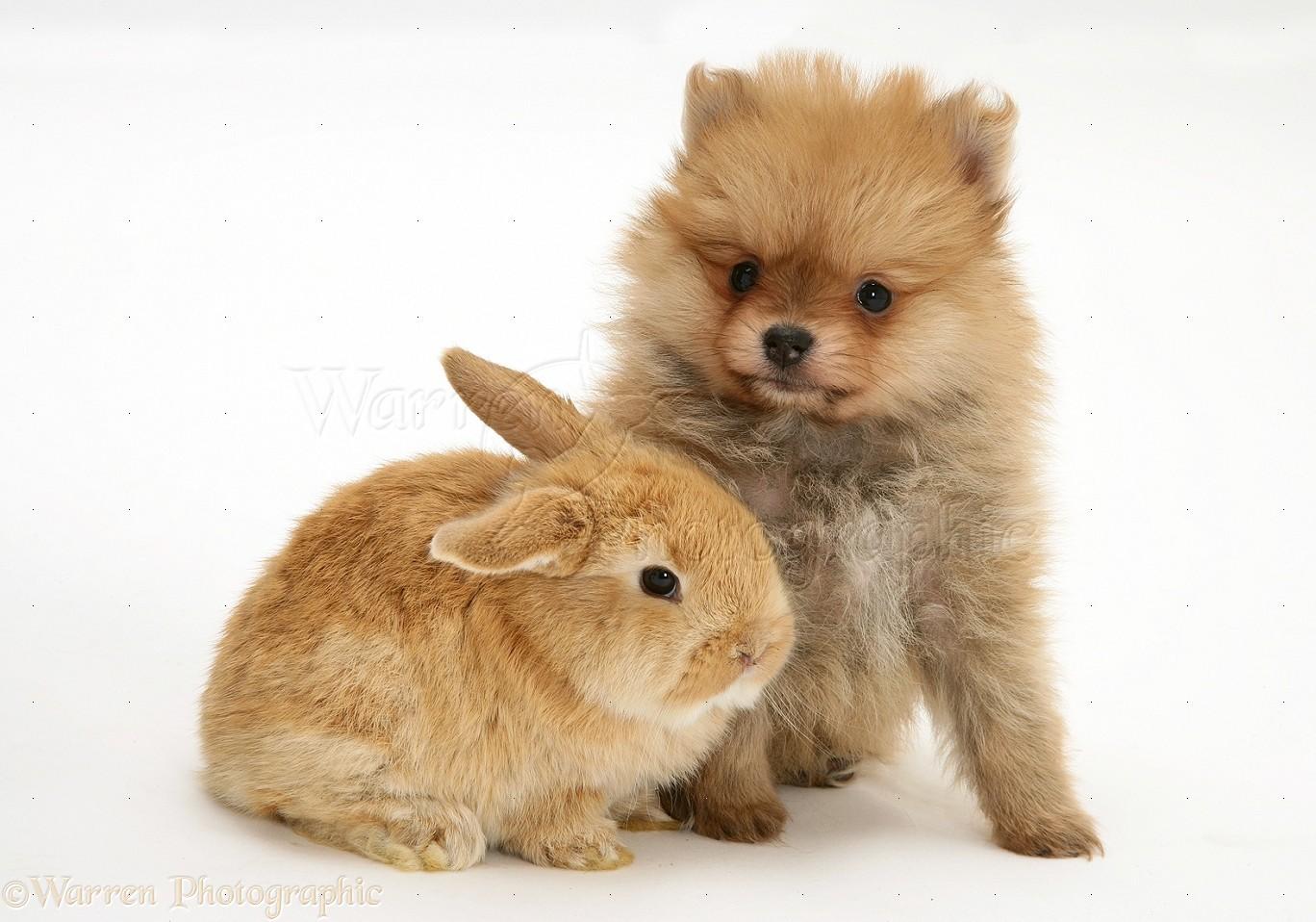 Brown Pomeranian Dog Baby 86719 Usbdata