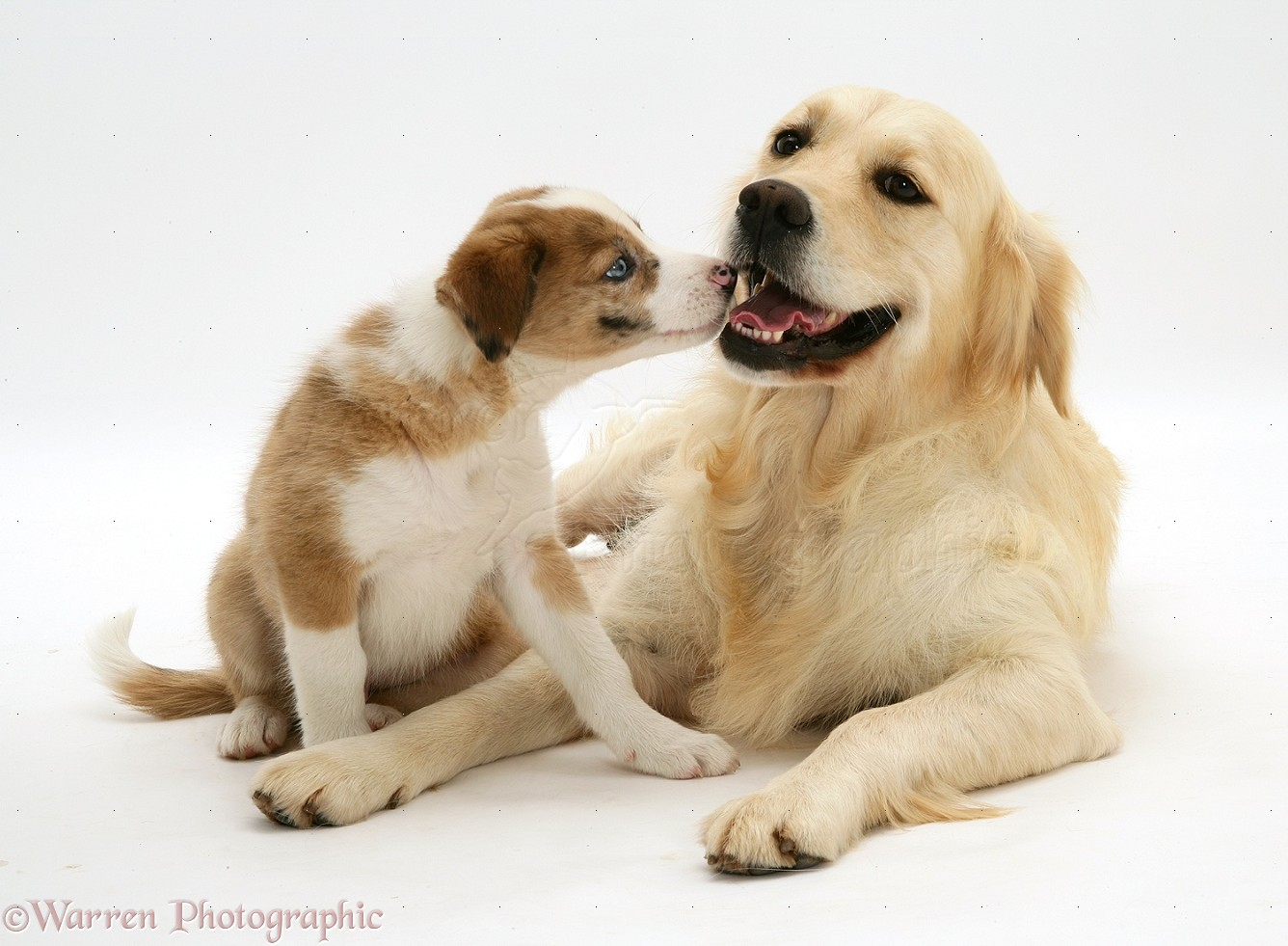 Dogs Golden Retriever And Border Collie Pup Photo Wp25160