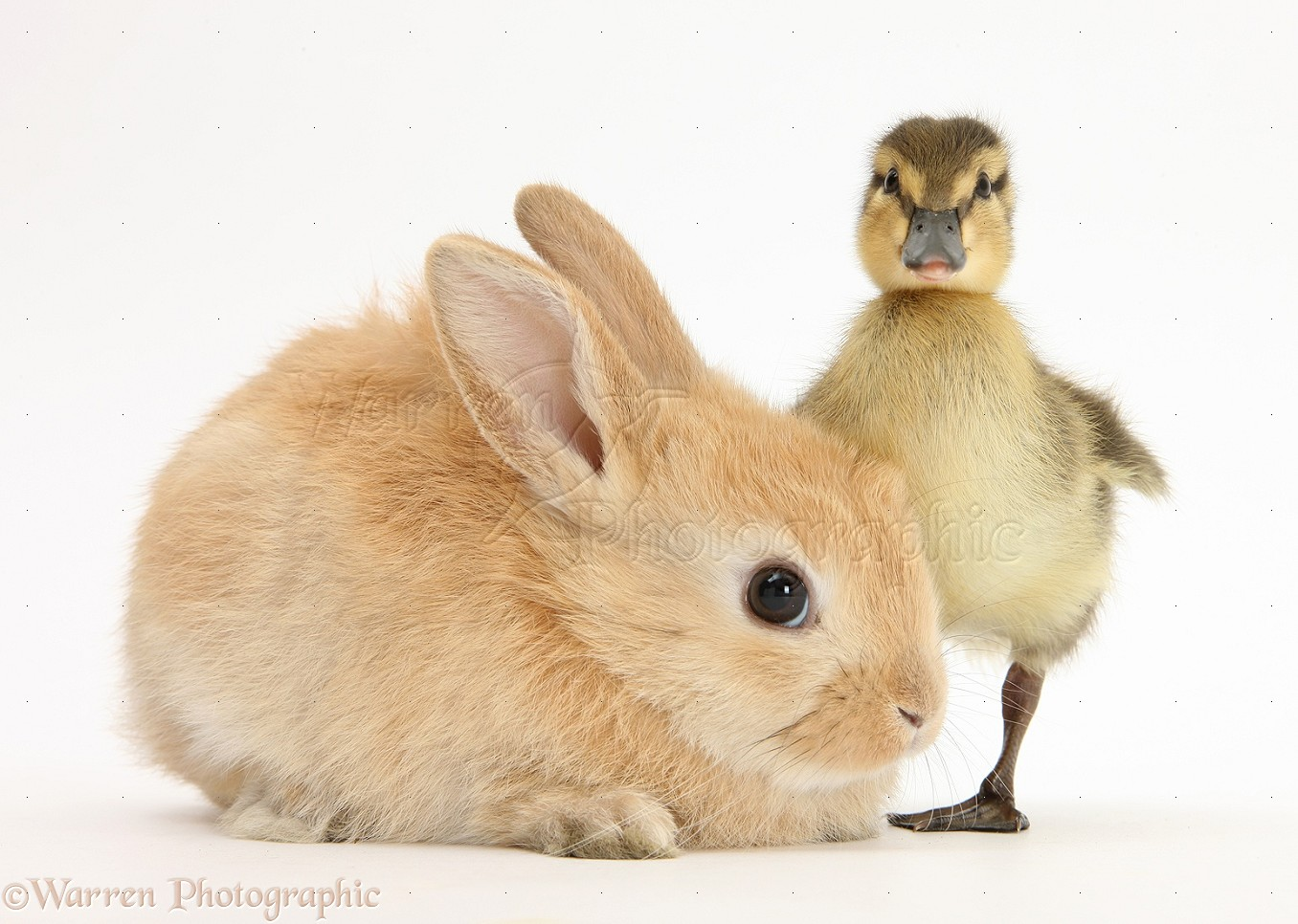young sandy lop rabbit and mallard duckling photo   wp25219
