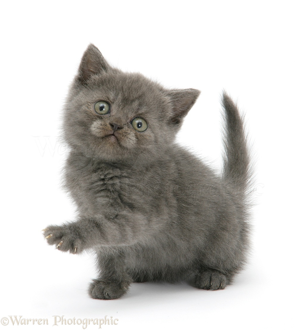 grey kitten with paw up photo wp25229