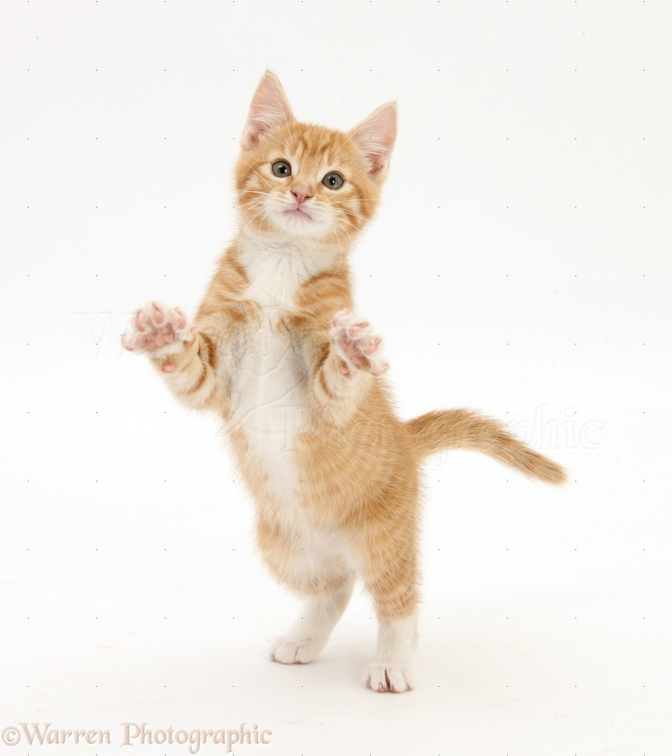 WP25289 Ginger kitten, Tom , 10 weeks old, standing up and reaching ...: www.warrenphotographic.co.uk/25289-ginger-kitten-standing-up-and...
