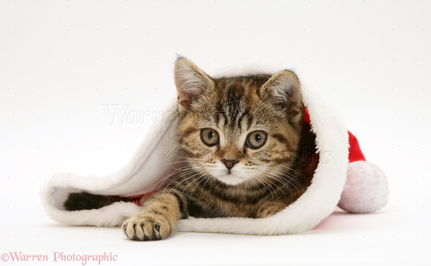 MeepClan - Page 6 25319-Tabby-cat-in-a-Santa-hat-white-background