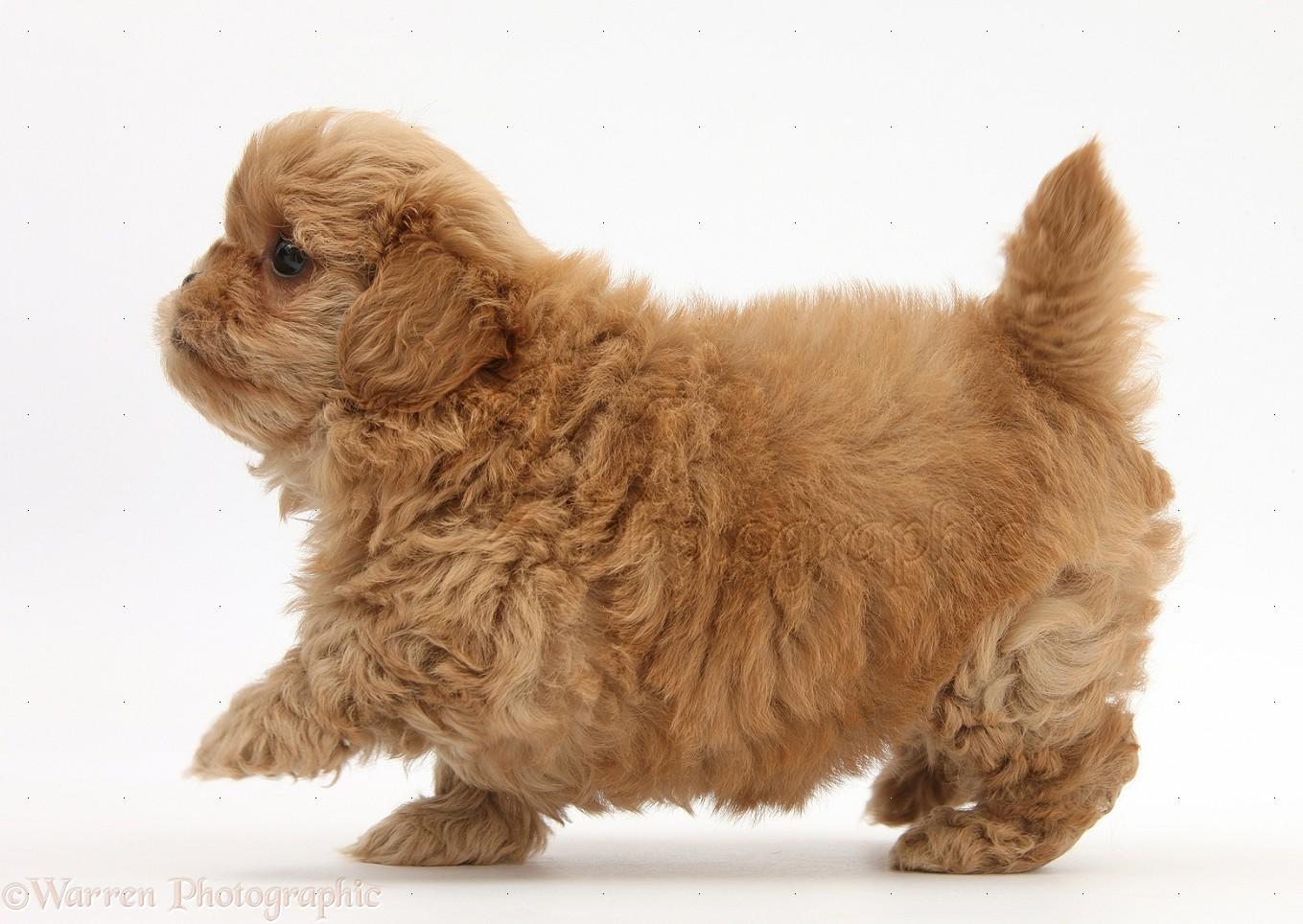 Wp25364 peekapoo pup 7 weeks old
