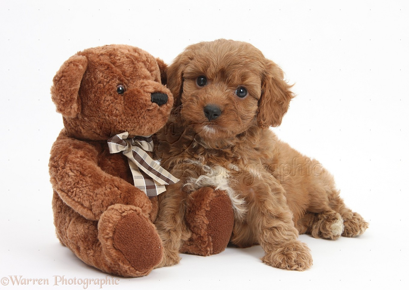 brown teddy bear puppies - 657×467
