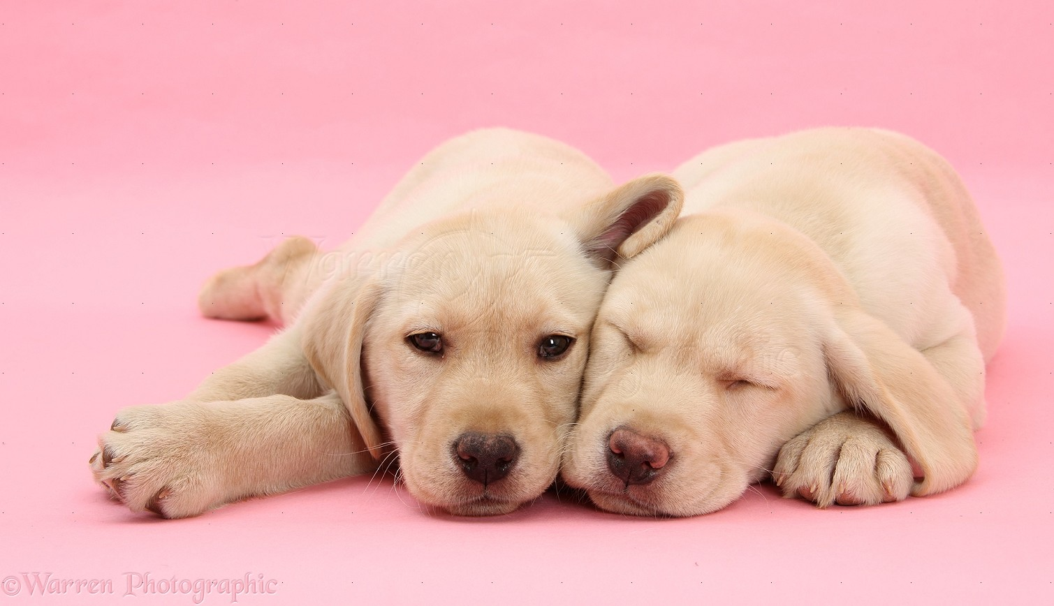 Puppy Wallpapers HD Desktop Backgrounds Images and Pictures