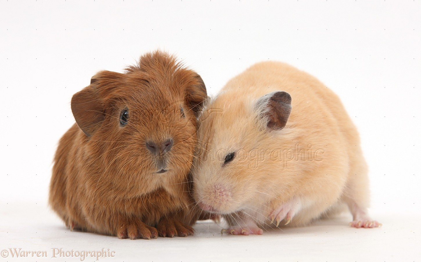 Uncategorized Hamster And Guinea Pig baby guinea pig and russian hamster photo wp27501 golden hamster