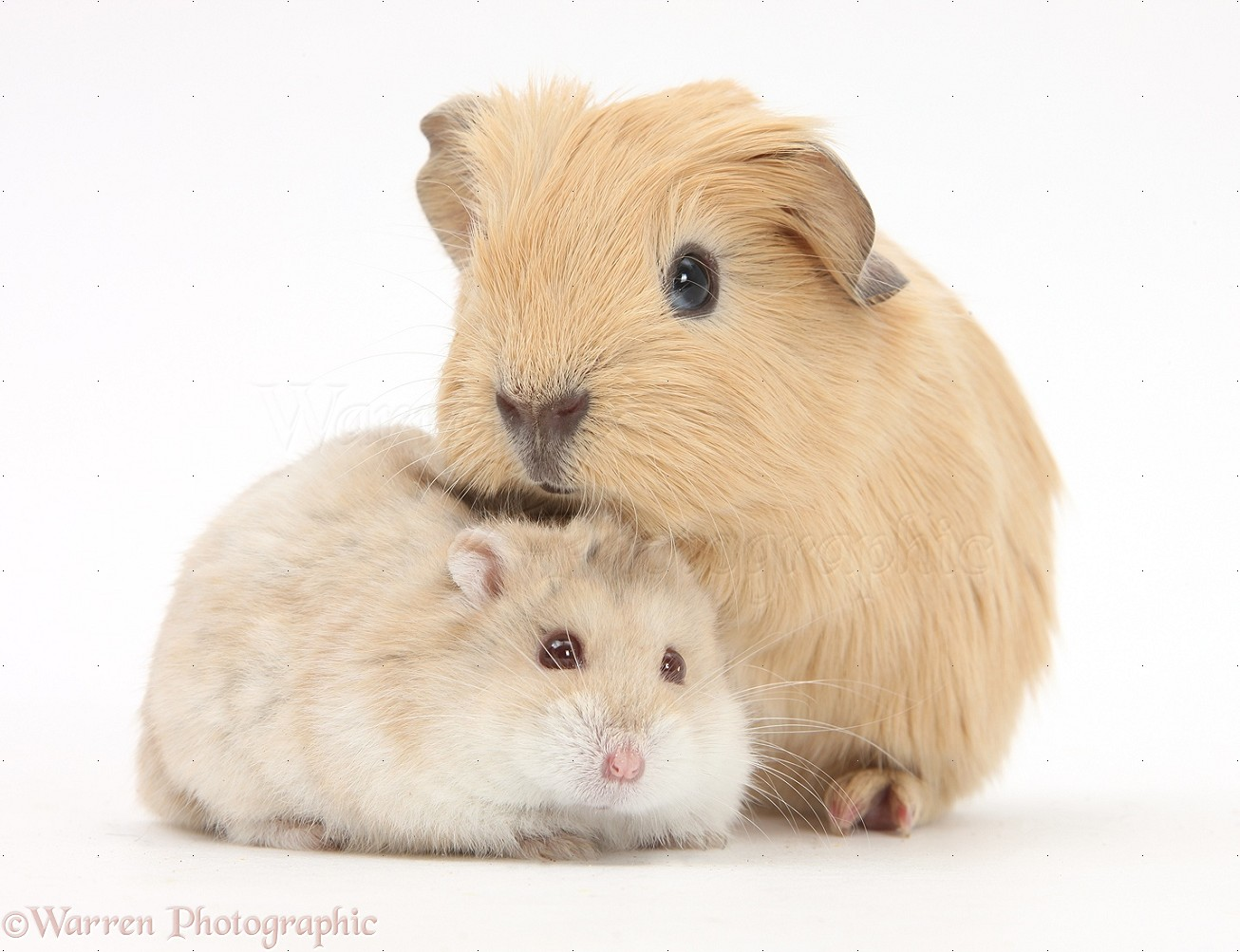 Uncategorized Hamsters And Guinea Pigs baby guinea pig and russian hamster photo wp25390 puppy red pig