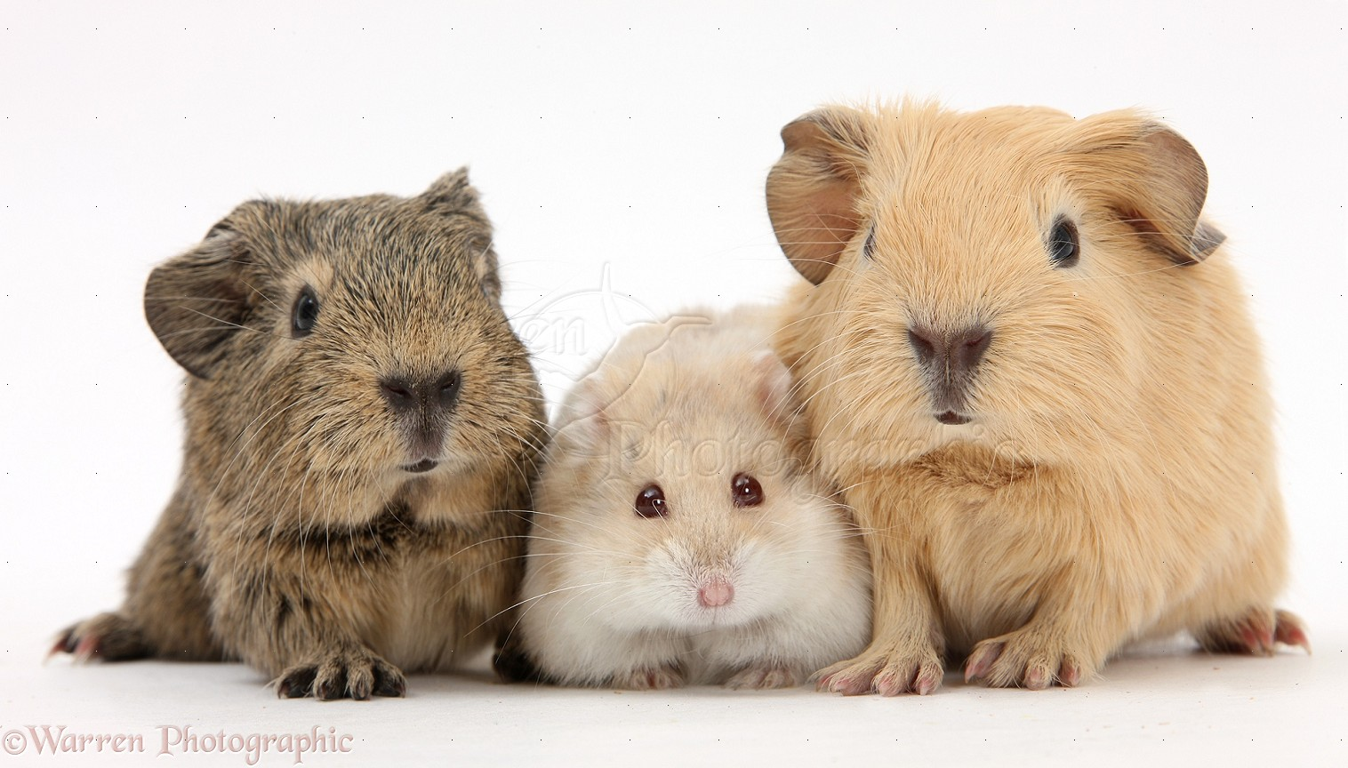 Uncategorized Hamsters And Guinea Pigs baby guinea pigs and russian hamster photo wp25391 puppy red pig