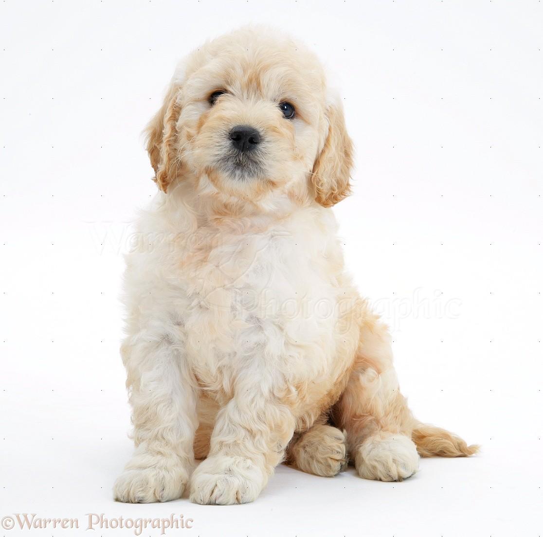 Dog Miniature Goldendoodle Pup 7 Weeks Old Sitting Photo Wp25403