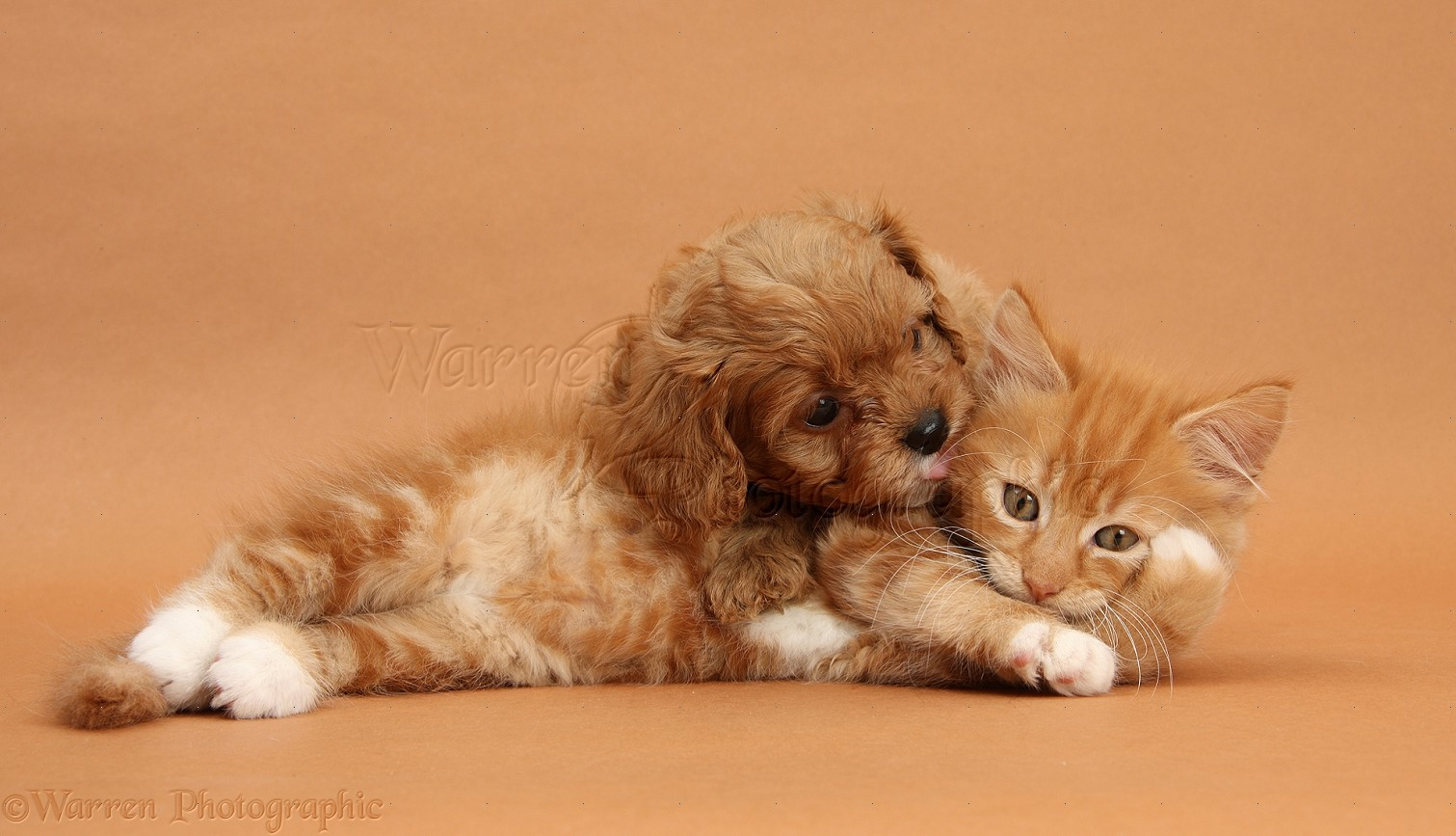 WP27476 Ginger kitten, Butch , 9 weeks old, and Cavapoo pup on brown ...