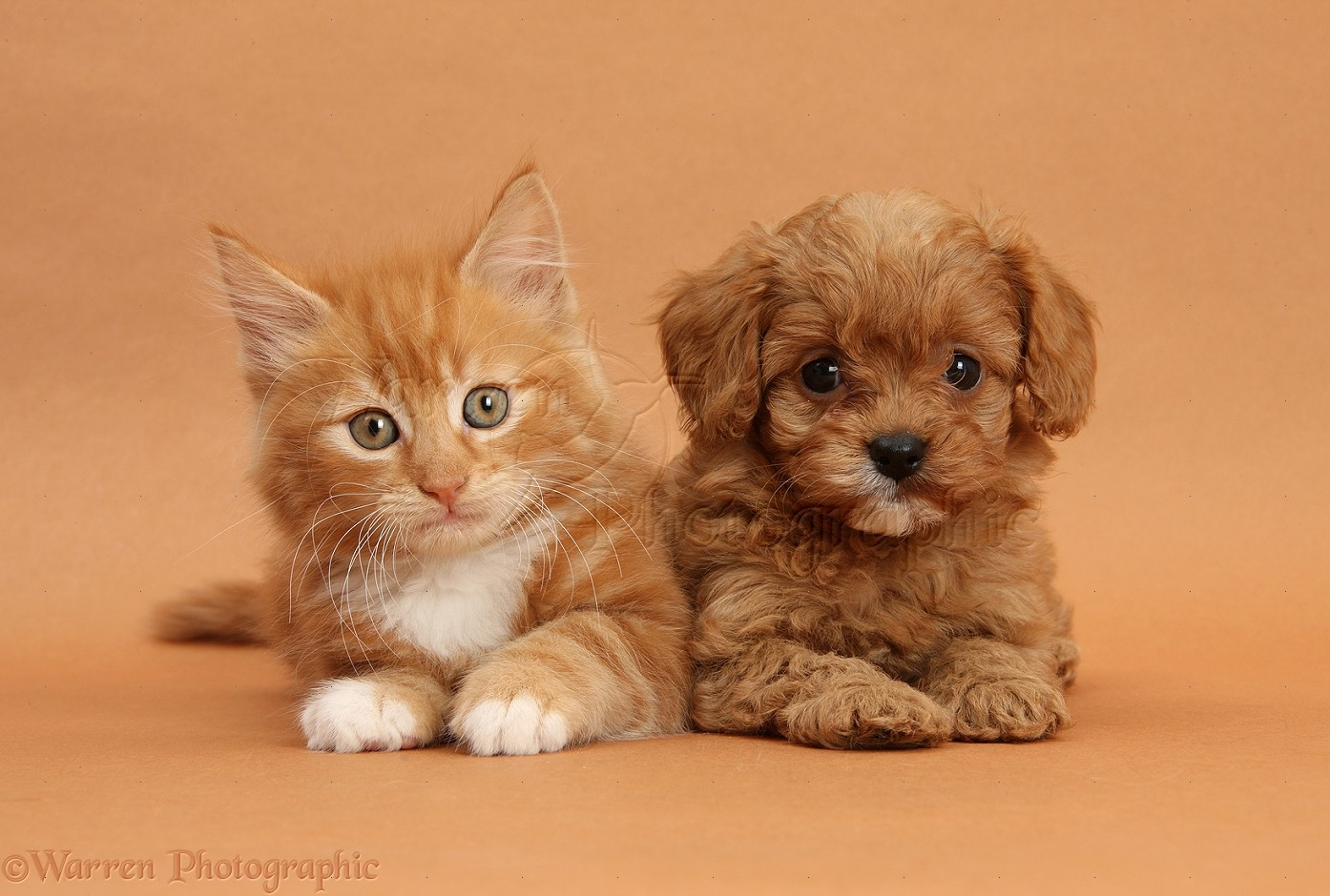 Pets: Cavapoo pup and ginger kitten on brown background ...