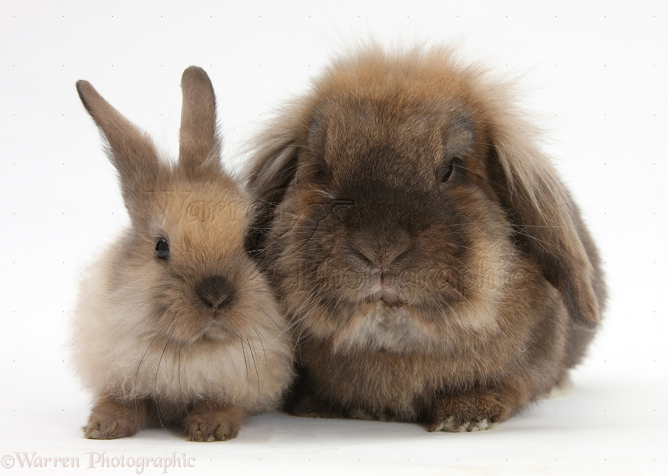 WP25498 Lionhead-Lop rabbit and baby.
