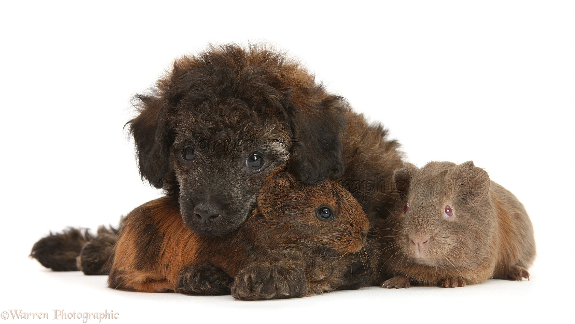 Pets Red Merle Toy Poodle Pup And Baby Guinea Pigs Photo Wp25522