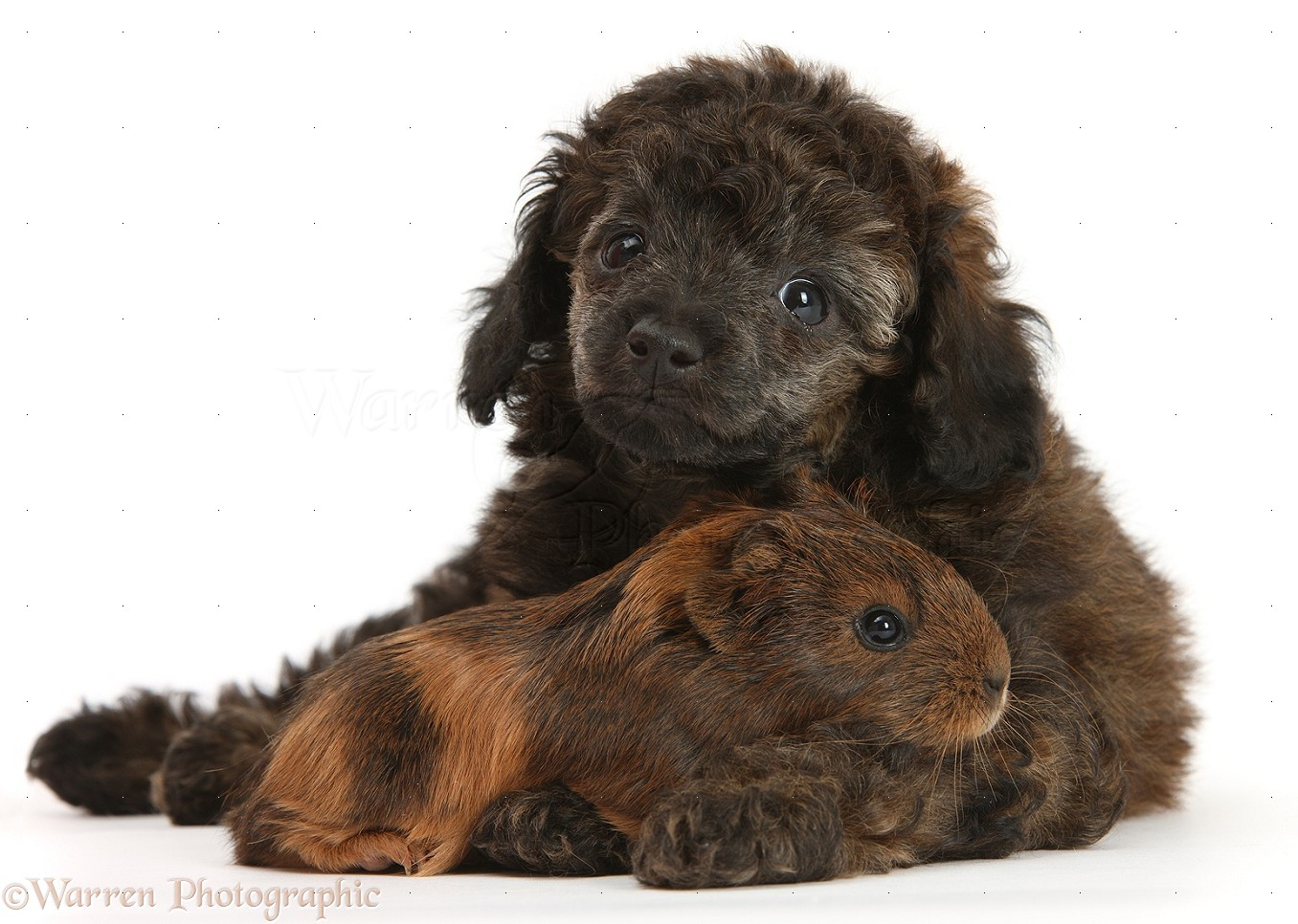 Pets Red Merle Toy Poodle Pup And Baby Guinea Pig Photo Wp25523
