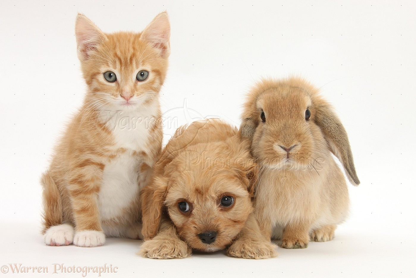 pets ginger kitten with cavapoo pup and lop rabbit photo