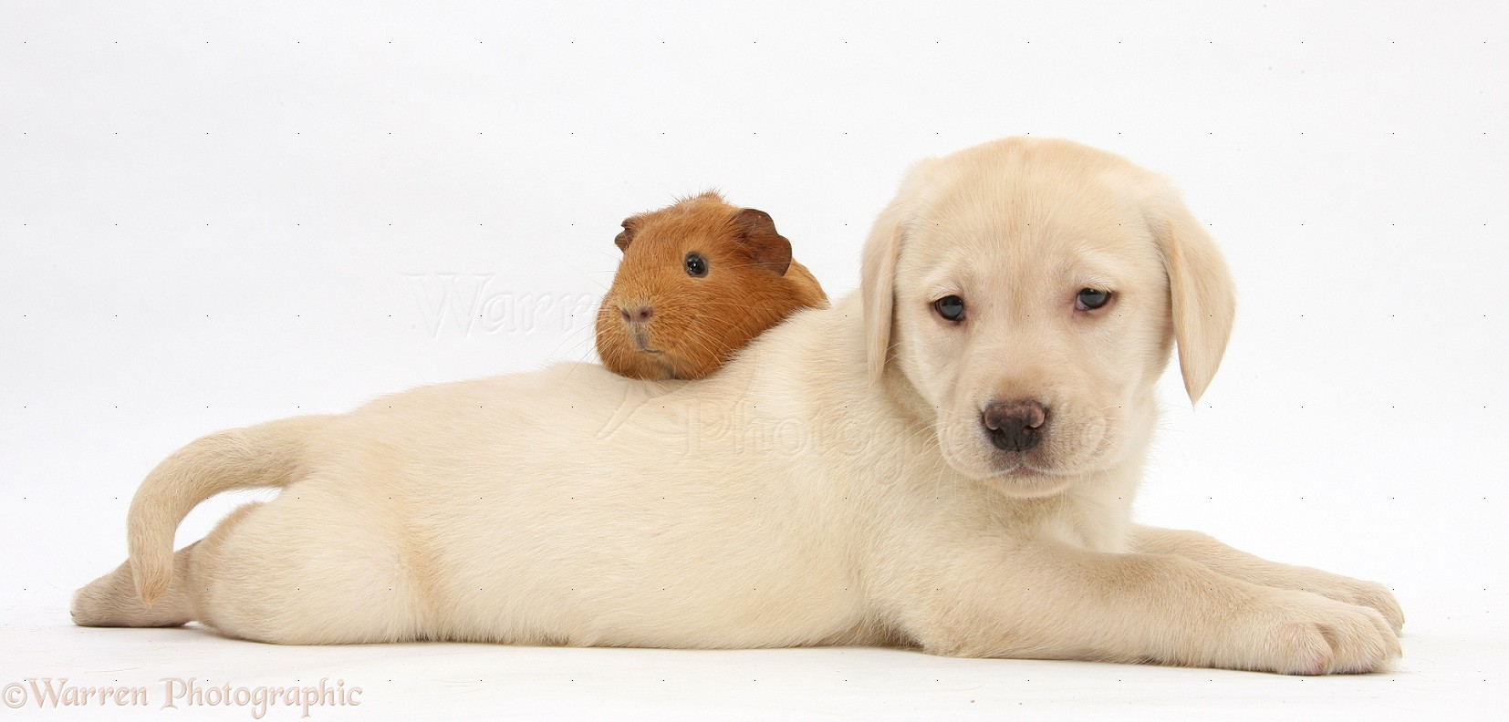 Pets: Yellow Labrador pup and red Guinea pig photo - WP25586