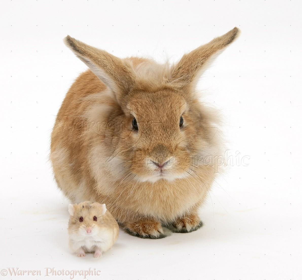 WP25627 Sandy Lionhead rabbit meeting Dwarf Siberian Hamster.